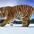 Siberian Tiger by Andy Rouse and Photo Researchers