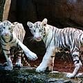 Siberian Tiger Cubs by Randy Matthews