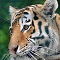 Siberian Tiger by Glenn Gordon