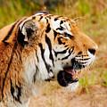 Siberian Tiger In Profile by Nick  Biemans