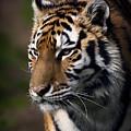 Siberian Tiger by Randy Hall