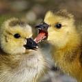 Sibling Rivalry by Sue Harper