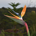 Side View Of A Beautiful Bird Of Paradise Flower  by DejaVu Designs