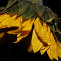 Sideview Sunflower by David E Anderson