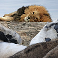 Siesta Time For Lions In Africa by Gill Billington