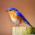 Sign Of Spring-eastern Blue Bird by John Vose