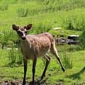 Sika Deer Water Hole Omagh by Eddie Barron