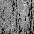 Silence Of Winter by Gabriela Insuratelu