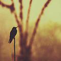 Silhouette Of A Hummingbird Against Golden Background, Mindo, Ecuador by Srdjan Kirtic