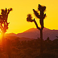 Silhouette Of Joshua Trees Yucca by Panoramic Images