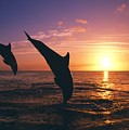 Silhouette Of Two Bottlenose Dolphins by Natural Selection Craig Tuttle