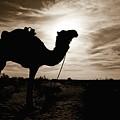 Silhouetted Camel, Sahara Desert, Douz by David DuChemin
