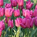 Silky Pink Tulips by Carol Groenen