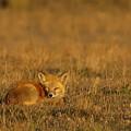 Silly Fox by Crystal Massop