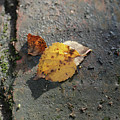 Silver Birch Leaves Lying On A Brick Path In A Cheshire Garden On An Autumn Day   England by Michael Walters