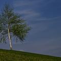 Silver Birch Tree by TouTouke A Y