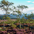 Silver Birch At Surprise View by Tim Clark