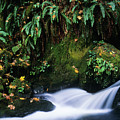 Silver Creek And Ferns by Robert Potts