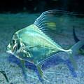 Silver Fish by Svetlana Sewell
