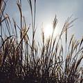 Silver Grass by Hyuntae Kim