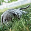Silver Labrador Retriever  by Iris Richardson