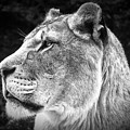 Silver Lioness  by Chris Boulton