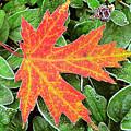 Silver Maple Frost by Alan Lenk