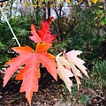 Silver Maple In Red by Patti Koss