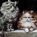 Silver Orange And White Persians by W Luker Junior