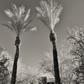 Silver Palms by Paulette B Wright