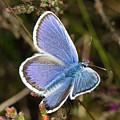 Silver-studded Blue Butterfly by Bob Kemp