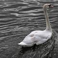 Silver Swan by John Daly