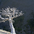 Silver Tree Glacier Park Montana by Waterdancer