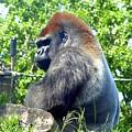 Silverback Gorilla by Will Borden