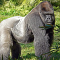 Silverback by Steven Sparks
