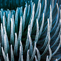 Silversword by Thorsten Scheuermann