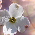 Simplicity A Dogwood Blossom by Mary Almond