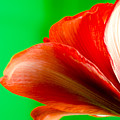 Simply Amaryllis Red Amaryllis Flower On A Green Background by Andy Smy