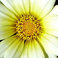 Simply Daisy by JoAnn SkyWatcher