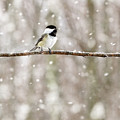Sing Chickadee Sing by Angie Rea