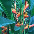 Singapore Heliconia by Jen Petrie