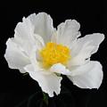 Singel White Peony Magnificence by Terri Winkler