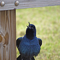Singing Grackle by Kenneth Albin