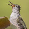 Singing Hummer by Sue Matsunaga