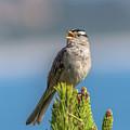 Singing Sparrow by Marv Vandehey