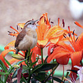 Singing Wren In The Lilies by Ericamaxine Price