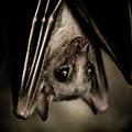 Single Bat Hanging Portrait by Arletta Cwalina