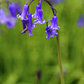 Single Bluebell Flower Head by Colin Rayner