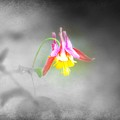 Single Columbine by Kim Blaylock