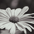 Single Daisy Bw by Andrea Anderegg